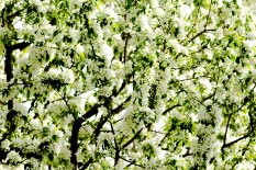 Blooming Tree 5 (Optimized)