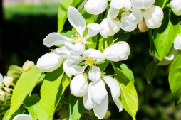 Blooming Tree Flowers (Optimized)