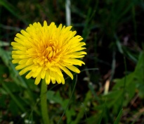 Dandelion 3 (Optimized)