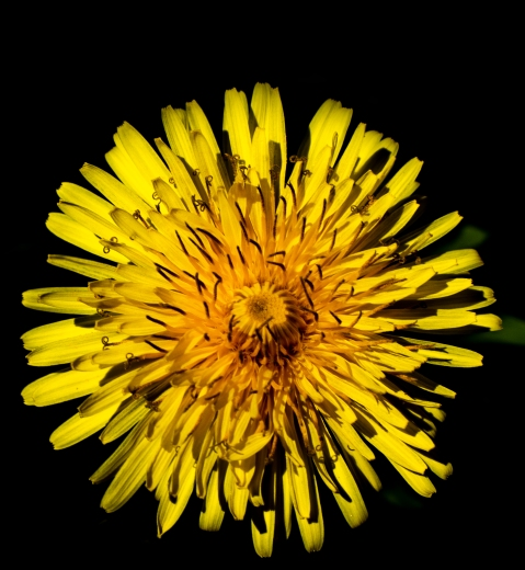 Dandelions 2 (Optimized)