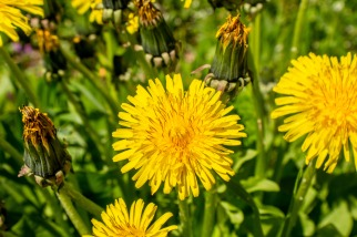 Dandelions-(Optimized)