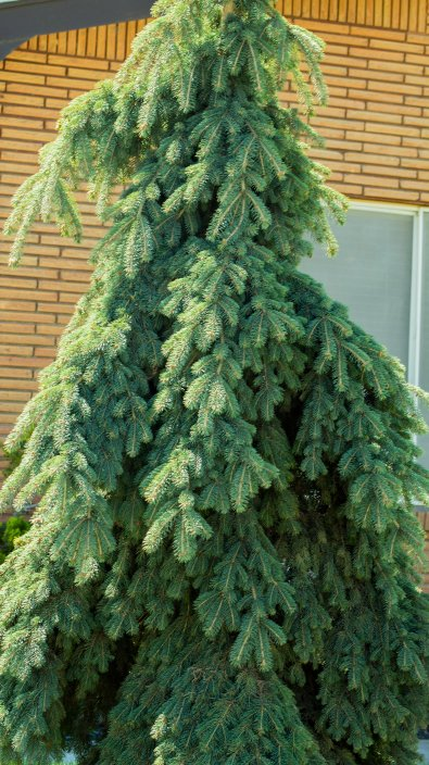 Pine-(Optimized)