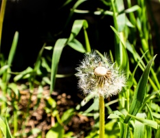 Popped-Dandelion-(Optimized)