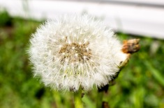 Puffed-Dandelion-2-(Optimized)