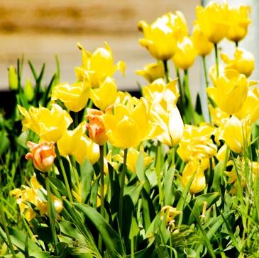 Yellow-Tulips-2-(Optimized)