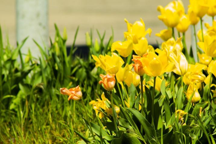 Yellow-Tulips-3-(Optimized)