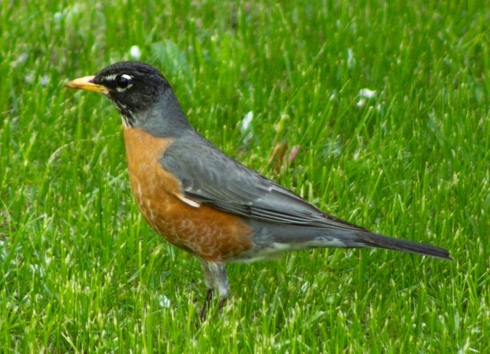 Orange-Chested-Bird-2-(Optimized)