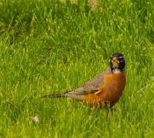 Orange-Chested-Bird-(Optimized)