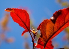Red-Tree-Red-Leaves-(Optimized)